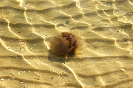 Australian Spotted Jelly Fish spotted near the shore