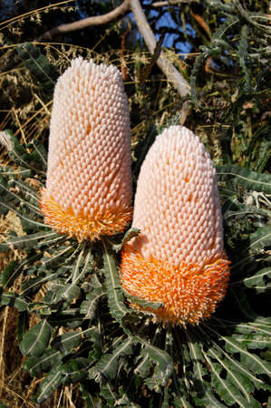Native Australias Banksia under the sunny day Stock Photo