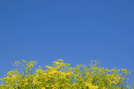 Yellow flower in blue sky background - good to adding picture into the blue space