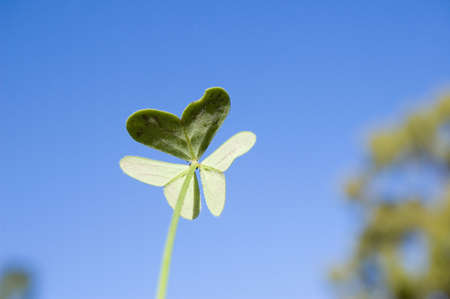 The back of clover which make a butterfly shape
