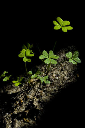 clover in the ground lited with a ray of light
