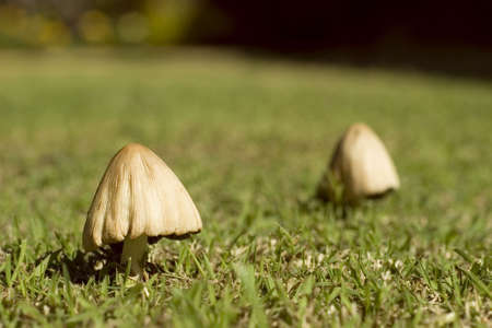 Two wild mushroom in different depth of field