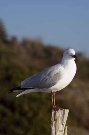 seagull standing on a wood look into the camera Stock Photo