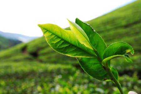 landforms: Close up of Tea Leaf taken in Cameron Highland, Malaysia