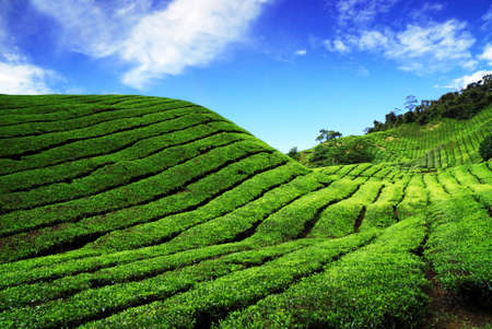 Bahrat Tea Plantation in Cameron Highland, Malaysia Stock Photo