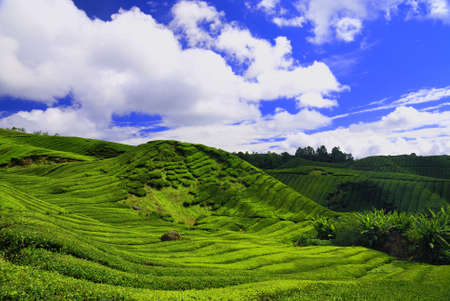 cropland: Tea plantations and hills in Cameron Highlands Malaysia Stock Photo