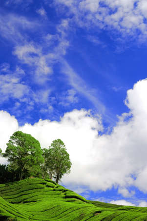 Tea Plantation Under the Blue Sky in Cameron Highland Malaysia