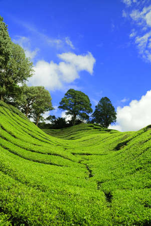 Verticle shot of Tea Plantation at Cameron Highland, Malaysia