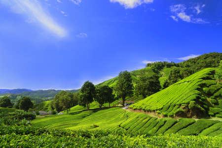 landforms: Tea Plantation Fields in Cameron Highland, Perak, Malaysia