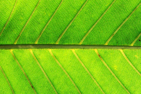 Macro shot of leaf as abstract showing the texture & veins of leaf Stock Photo - 1896136