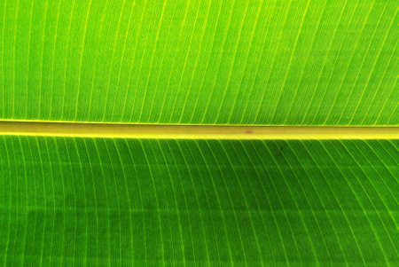Light shines through the back of a  banana leaf Stock Photo - 1896134