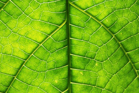 Leaf with backlight Stock Photo - 1896133