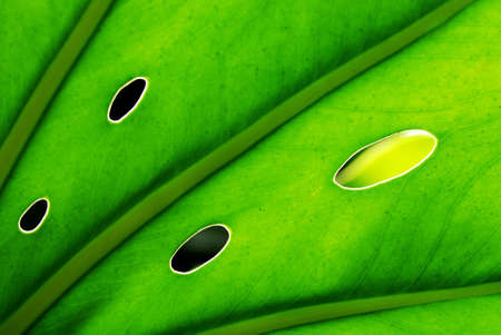 A back lit green leaf with holes showing the vascular structures of the leaf Stock Photo - 1896124