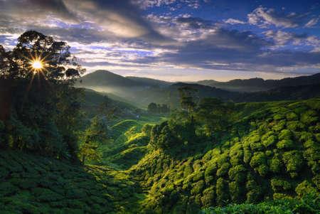Cameron Highland tea plantation shine by the morning sun and foggy