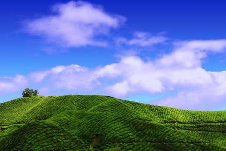 Tea Plantation in Cameron Highland. Under a sunny blue sky. Stock Photo