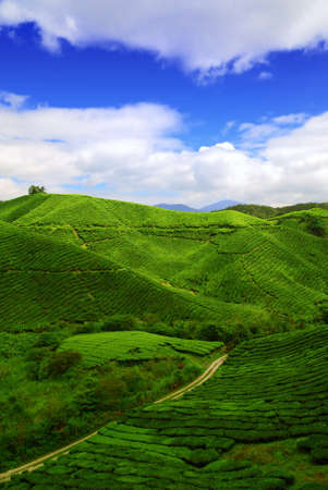 boh: Boh Tea Plantation located in Cameron Highlands Malaysia