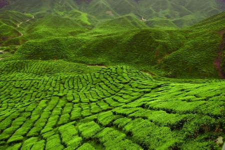 Tea plantation in Cameron Valley. Malaysia. Stock Photo