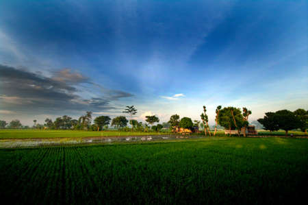 paddy fields: Sunrise in Paddy Fields Stock Photo