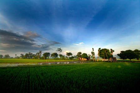 kampung: Sunrise in Paddy Fields Stock Photo