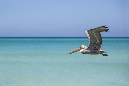 Tierwelt, Pelikan-Fliegen um karibischen Strand