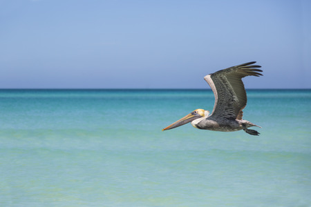 wildlife, pelican flying around caribbean beach