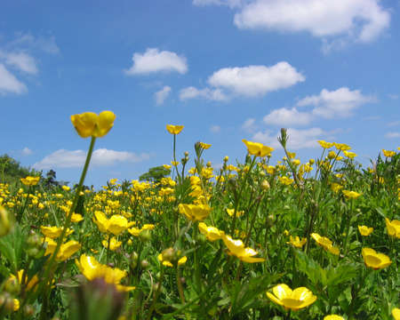 Yellow Buttercups with blue skies and white clouds as backdrop.