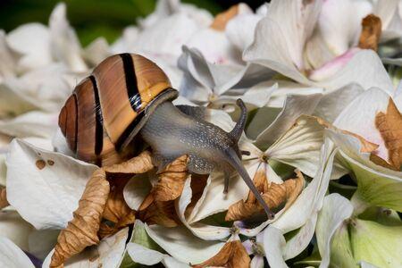 Macro brown snail on top of yellow hydrangea Reklamní fotografie