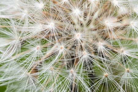 Amazing macro of dandelion