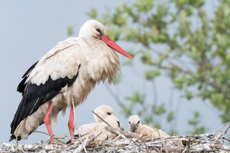 Stork in his nest whit his children
