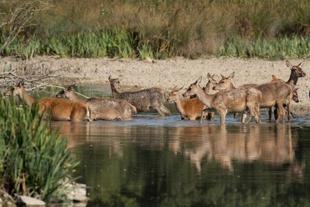 A group of deer entering the water in a park