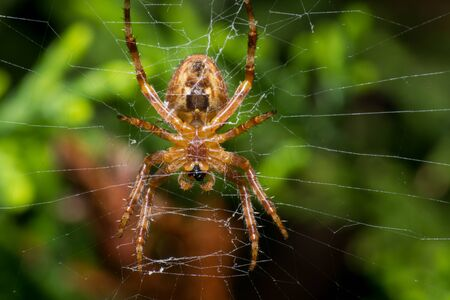These spiders normally do not move if you do not disturb them, you are still waiting for your prey to fall 版權商用圖片