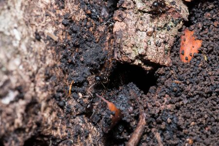 A group of black ants line up above the bark of a tree