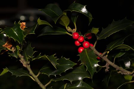 This plant is the holly that is often used at Christmas 写真素材