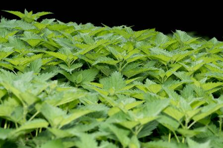 This beautiful group of nettles sting the skin but are often used for remedies Stok Fotoğraf