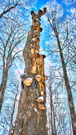 sweden in winter: A tree in the winter in Sweden Stock Photo