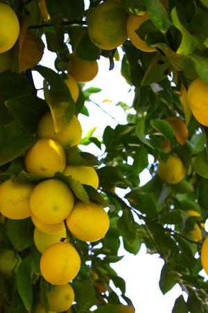 Fresh lemons on lemon tree, citrus yellow Фото со стока - 6057349