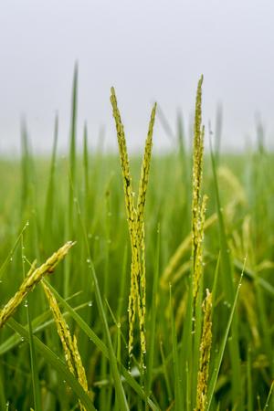 Rijst in de ochtend