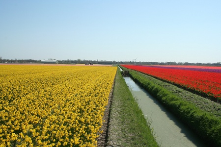Bulbfields of tulips and bulb flowers in the Dutch landscape Stock Photo - 8622889