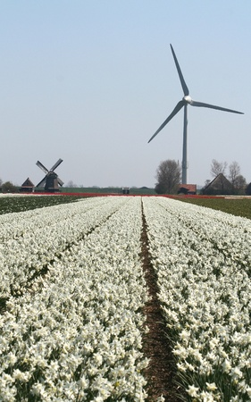 Bulbfields of tulips and bulb flowers in the Dutch landscape Stock Photo - 8622807