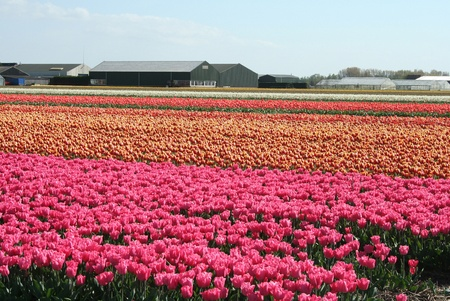 Bulbfields of tulips and bulb flowers in the Dutch landscape Stock Photo - 8622900