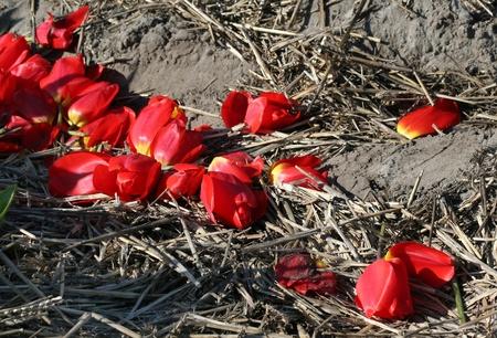 bloembollenvelden: Kleurrijke bollenvelden in Holland Stockfoto