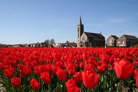 bulb fields: Colorful bulb fields in Holland