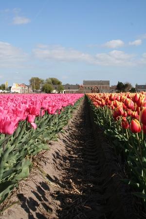 bloembollenvelden: Kleurrijke bollenvelden in Nederland Stockfoto