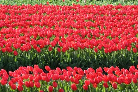 bloembollenvelden: Colorful bulb fields in Holland