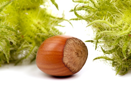 cobnut: hazelnut - also known as cobnut or filbert  Stock Photo