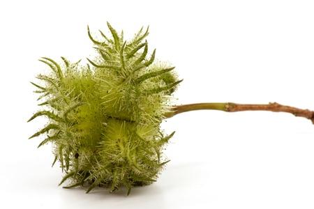 cobnut: hazelnut - also known as cobnut or filbert