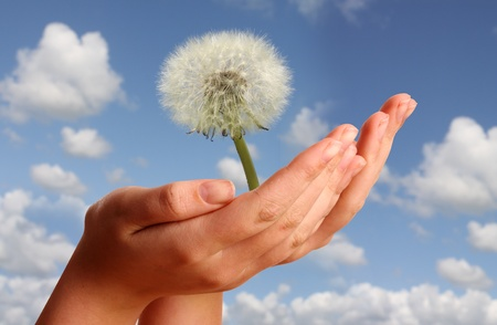 Young womans hand showing a dandelion 写真素材