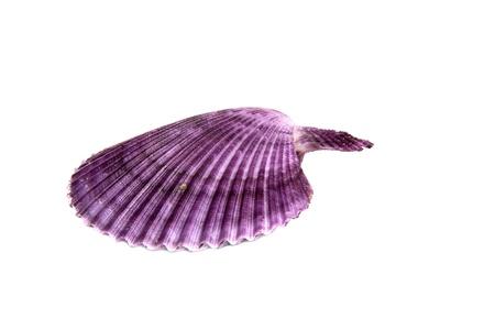 molluscs: Marine sea shell in a studio setting against a white background Stock Photo