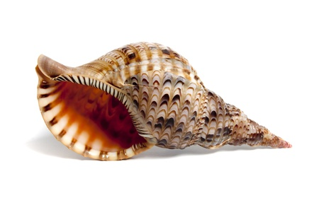 Marine sea shell in a studio setting against a white background Stock Photo