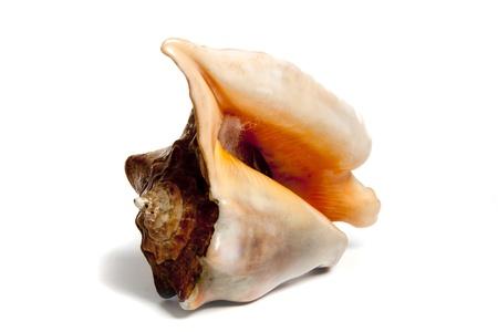 mollusca: Marine sea shell in a studio setting against a white background Stock Photo